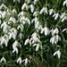 Snowdrops, early sign of spring (Galanthus nivalis, Kleines Schneeglöckchen)