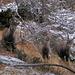 später im schattigen Wald: Steinbock-Familie