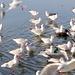 Die Lachmöwen und Enten halten Wasserlöcher offen - zentral eine Sturmmöwe ( Larus canus )