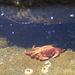 Sonnenbad im Gezeiten Tümpel bevor die nächste Flut kommt