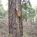 antiguamente recogian la resina de los árboles