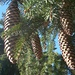 10-15cm grosse Zapfen der Rotfichte (Picea abies).