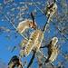 Männliche 5-10cm grosse Kätzchen der Zitterpappel (Populus tremula). Der Baum ist einer der wenigen Pflanzen Mitteleuropas die schon om Februar blühen.
