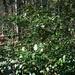 Die unter Naturschutz stehende Stechpalme ist in den Wynigenbergen weit verbreitet.