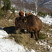 Simpatiche mucche scozzesi al pascolo...