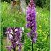 Flori din Apuseni - Dactylorhiza - Orhideea romaneasca