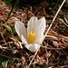 Am Südhang zeigen sich die ersten Frühlingsboten: Krokusse und Enziane blühen auf 1660 M.ü.M (22. Februar 2008)!