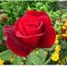 Trandafir rosu la manastirea Brancoveanu