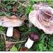Specie Russulaceae