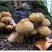 Pholiota squarrosa - Buretii solzosi