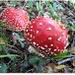 Amanita muscaria - Buretele pestrit