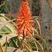Fuerteventura - Aloe Vera Blüte - aus den Pflanzenteilen werden heilsame Cremes und Lotionen hergestellt