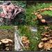 Armillaria mellea - Ghebe