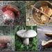 Boletus purpureus+Boletus reticulatus+Boletus edulis