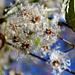 ....und auch heute dekorative Waldreben (Clematis vitalba)