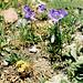 Glockenblumen am Rande der Seitenmoräne des Guslarferners