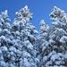 hoch ragend und tief verschneite Tannen