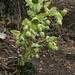 Stinking hellebore, Dungwort, or Bear's foot (Helleborus foetidus, Stinkende Nieswurz)