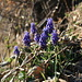 Common grape hyacinth (Kleine Traubenhyazinthe, Muscari botryoides)