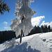 Winterweg zum Pfänder - blaubter Winterbaum