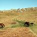 Wildpferd-Herde