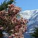 Magnolia tree blooming (Tulpen-Magnolie, Magnolia × soulangeana))