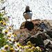 Papageientaucher im Blumenstrauss
