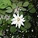 Unbekannte Blüte im Urwald