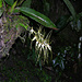 Unbekannte Orchidee