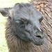 Lama, ein Verwandter des Kamels