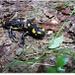 Salamandra iesita pe carare
