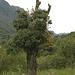 Schön anzusehen, aber für den Baum nicht gesund