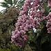 blühende Magnolien auf dem Monte Verità