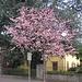 Frühling in Ascona, blühender japanischer Kirschbaum