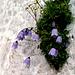 Glockenblume im Bergleintal