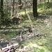 Junge Steinböcke im Föhrenwald im Gantertal