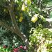 die Zitronen sind auf Ischia nicht gar so sauer ...