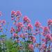 die rosa Blüten scheinen in den Himmel zu wachsen