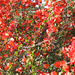 dieser rot blühende Baum leuchtet schon von Weitem