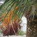 die riesige Palmblüte beeindruckt durch ihre Farbharmonie