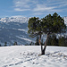 Föhre (Pinus mugo) 2