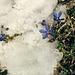 Frühlingsenzian im Schnee