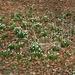 Frühlingsboten, Märzenbecher in großer Zahl