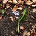 Zweiblättriger Blaustern (Scilla bifolia).