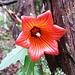 Prächtige Kanarische Glockenblume* im Nebelurwald oberhalb Chamorga  *Danke Juan