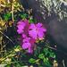 Zweite Lektion in Botanik: Das Photographieren. Hier Primula Integrifolia.