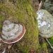 auf der Erdburg: stets dekorativ, diese Baumpilze