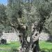 Olivenbaumzwillinge