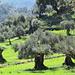uralte Olivenbäume in jungem Grün