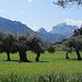 uralte Olivenbäume inmitten schon saftig grüner Wiesen - im Hintergrund der Puig Major
